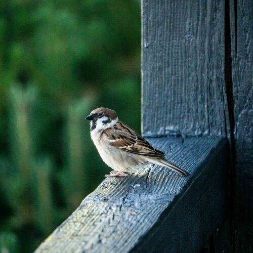 brown and white bird on gray wooden fence during daytime