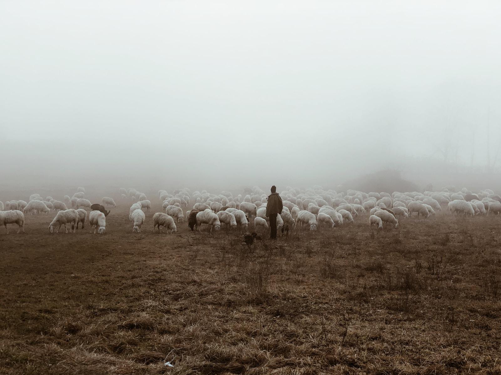 IN THE SHEPHERD'S HAND